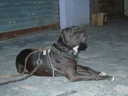 Jaguar, chien Dogue argentin