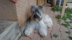 Jah, chien Berger des Pyrénées
