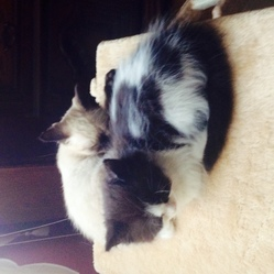 Jahel_1, chat Maine Coon