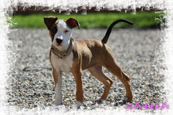 Jahia, chien American Staffordshire Terrier