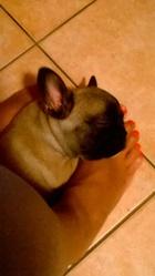 Jahiko, chien Bouledogue français