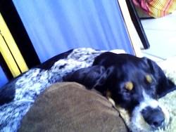 Jahion, chien Setter anglais
