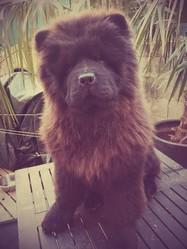Jaia, chien Chow-Chow