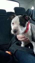 Jaia, chien American Staffordshire Terrier
