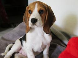 Jaia, chien Beagle