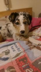 Jaia, chien Berger australien