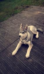 Jaicko, chien Husky sibérien