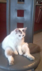 Jaiden, chat Angora turc