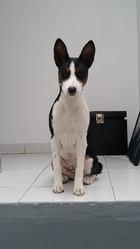 Jaiden, chien Basenji