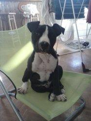Jaigo, chien American Staffordshire Terrier