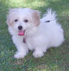 Jaiha, chien Bichon havanais