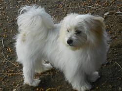 Jaihia, chien Bichon havanais