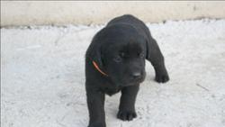 Jaika, chien Labrador Retriever