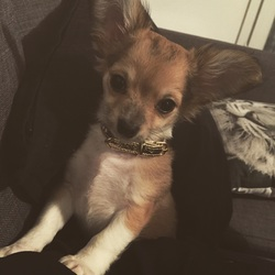 Jaika , chien Chihuahua