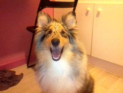 Jaika, chien Colley à poil long