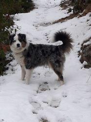 Jaika, chien Berger allemand