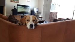 Jaika, chien Beagle