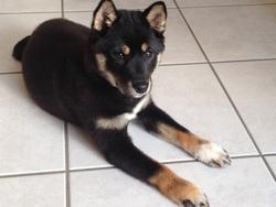 Jaika, chien Shiba Inu