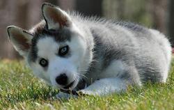 Jaika, chien Husky sibérien
