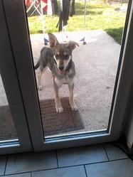 Jaiko, chien Chien-loup tchèque