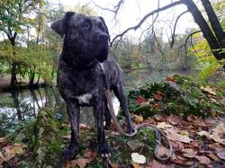 Jaina, chien Dogo canario