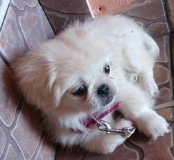 Jaina, chien Pékinois