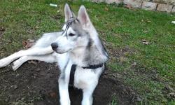 Jaisko, chien Husky sibérien