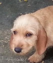 Jaja Du Rocher Des Deux Fréres, chien Basset fauve de Bretagne