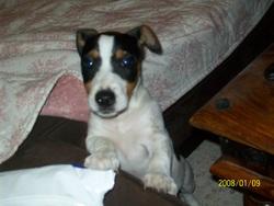 Jak, chien Jack Russell Terrier