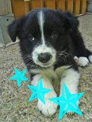 Jak, chien Berger australien