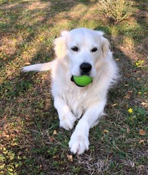Jak, chien Golden Retriever