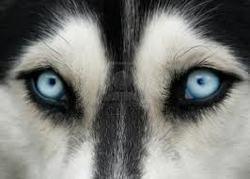 Jakcone, chien Husky sibérien