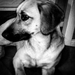 Jake, chien