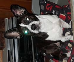 Jakichank, chien Jack Russell Terrier