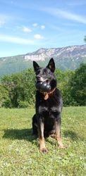 Jako, chien Berger allemand