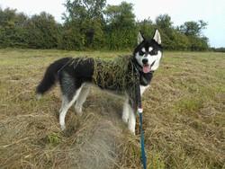 Jalahn, chien Husky sibérien