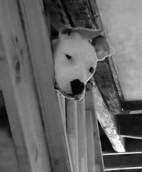 Jalia, chien American Staffordshire Terrier