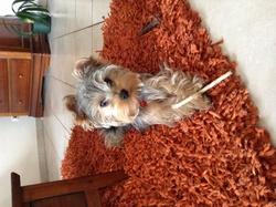 Jalisko, chien Yorkshire Terrier