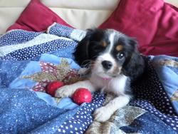 Jalna, chien Cavalier King Charles Spaniel