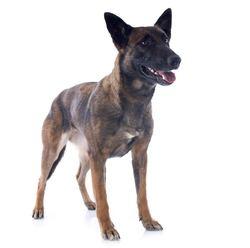Jalouse Du Domaine D'Utah, chien Berger belge