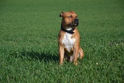 Jamaican Killa, chien American Staffordshire Terrier