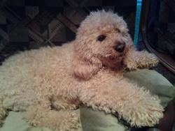 James, chien Caniche