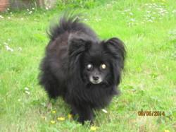 Jameson, chien Spitz finlandais