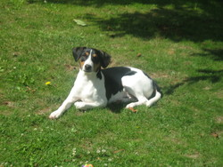 Jami, chien Jack Russell Terrier