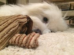 Jamie, chien Coton de Tuléar