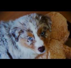 Jamie, chien Berger australien