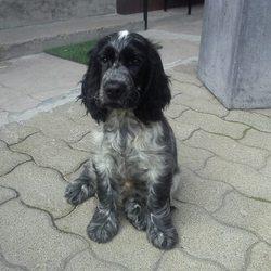 Jamie-Lee, chien Cocker anglais