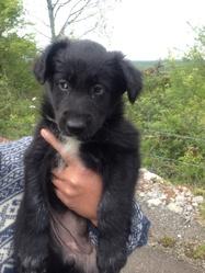 Jana, chien Border Collie