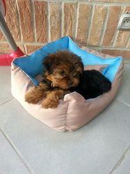 Jana, chien Yorkshire Terrier