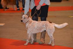 Jana, chien Bouvier d'Australie